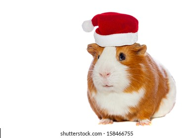 guinea pig in Santa Claus hat isolated on white