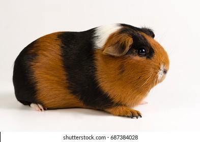 Guinea pig short hair
