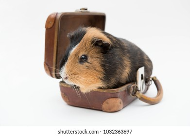 Guinea pig sits in an old luggage isolated - planning to travel?