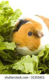 guinea pig is sitting between endive leafs on white