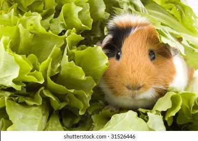 guinea pig is sitting between endive leafs