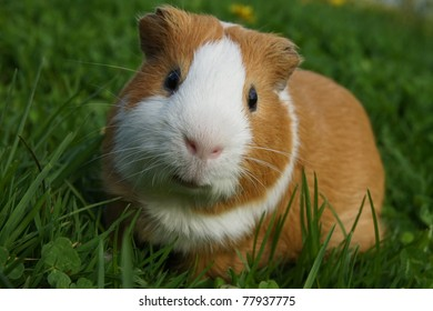 guinea pig sitting in the grass