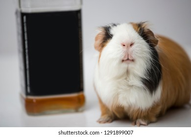 guinea pig sitting on the table next to the bottle. funny pig. alcoholic drink