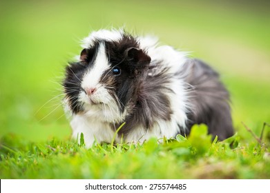 Guinea pig sitting outdoors in summer