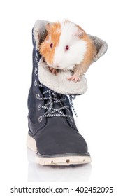 Guinea pig sitting in a shoe isolated on white