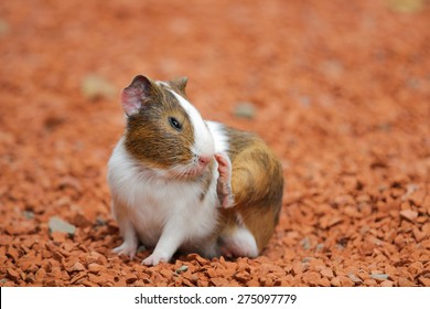 Guinea pig was smelling his feet