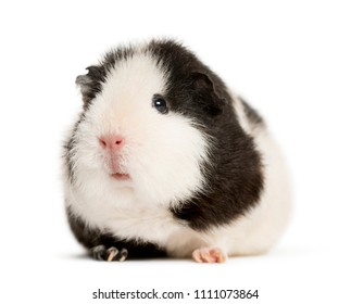 Guinea pig standing in front of a white background