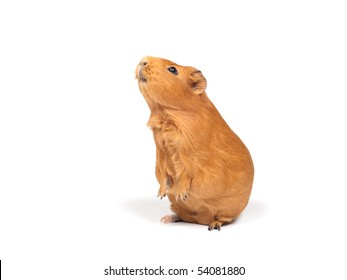 Guinea pig stands on its hind legs (ramps). Isolated on white background.