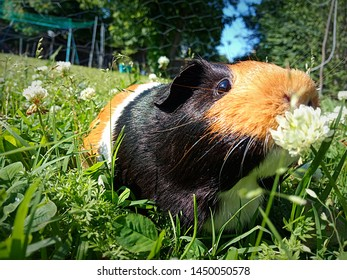 Guinea pig stopping to smell the flowers