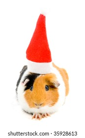 guinea pig is wearing christmas hat isolated on white