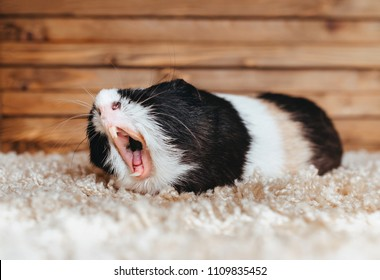 Guinea pig yawns and shows her teeth. The pet is tired. Poster. The animal screams about the stock at the store. Sale, advertising. Bored people.