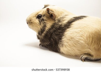 The guinea pigment on a white background. Pet on a white background. Space for text
