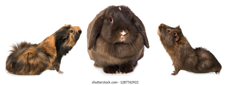 Guinea pigs and a dwarf rabbit isolated on white background
