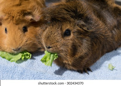 guinea pigs eating lettuce
