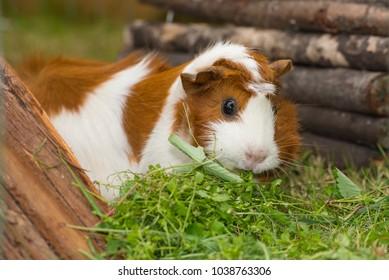 Guinea pigs outside on grass eating