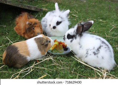 guinea pigs and rabbits at dinner
