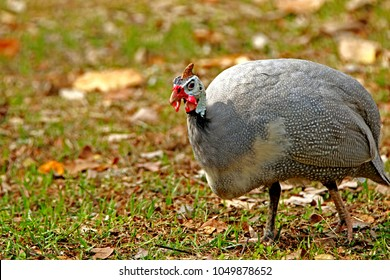 The guineafowl on field