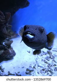 Guineafowl Puffer - black and covered with small white spots pufferfish with powerful jaws and beak-like teeth.