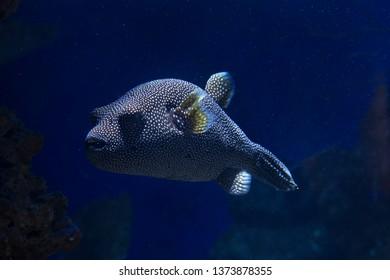 Guineafowl pufferfish, golden puffer  (Arothron meleagris).
