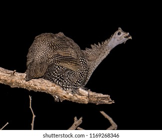 Guineafowl in a tree