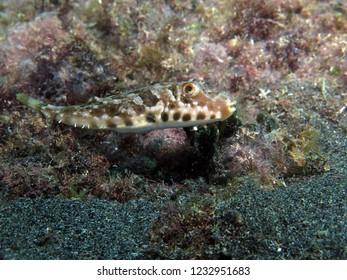 Guinean puffer fish
