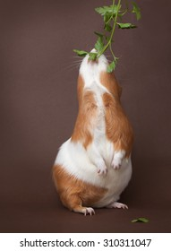guinea-pig is eating verdure stand on back foots on the brown background