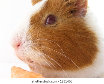 Guinea-pig - a portrait in style a high key.