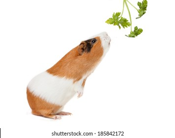 guinea-pig is smelling verdure on the white background
