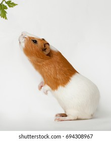 guinea-pig is smelling verdure stand on back foots on the light background