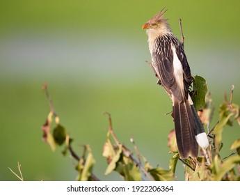 Guira Cuckoo, Guira guira bird in Brazil, South America