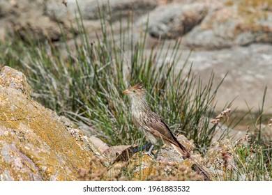 Guira Cuckoo (Guira guira) by the bay, Montevideo, Uruguay