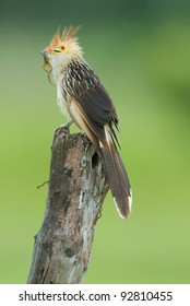 Guira Cuckoo (Guira guira) with a frog in its beak sitting on a fence post in the Pantanal region of Brazil.