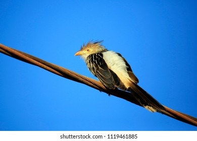 Guira Cuckoo (Guira guira) on Wire, against Blue Sky. Porto Jofre, Pantanal