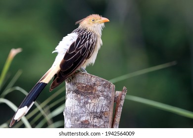 Guira Cuckoo (Guira guira) perched over barbed wire