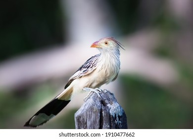 The guira cuckoo (Guira guira) sitting on the wood, Pantanal, Brasil
