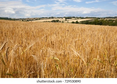 GUITING POWER, GLOUCESTERSHIRE, ENGLAND - JULY 09, 2017: Ripe golden yellow Barley in field with agricultural landscape in background
