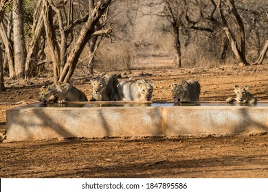 Gujarat, India: Pride of lions at Gir National Park and Wildlife Sanctuary, also known as Sasan Gir at a water point.