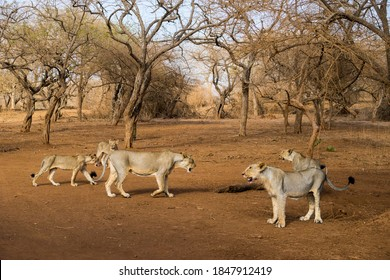 Gujarat, India: Pride of lions at Gir National Park and Wildlife Sanctuary, also known as Sasan Gir.
