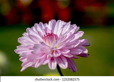 Guldaudi Chrysanthemum Flower india bhopal