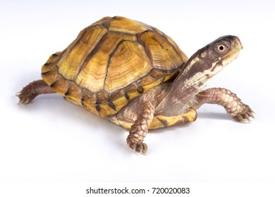 Gulf Coast box turtle, Terrapene carolina major