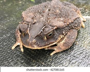 A gulf coast toad, bufo genus, sitting on the ground.