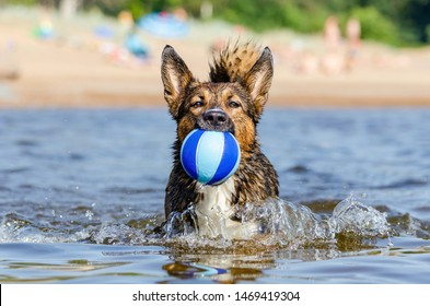 The Gulf of Finland. Young energetic half-breed dog is jumping over water. Doggy is playing with ball in water. Sunstroke, health of pets in the summer. How to protect your dog from overheating.