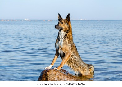 The Gulf of Finland. Young energetic half-breed dog is standing on a stone at sunset. Doggy is playing in water. Sunstroke, health of pets in the summer. How to protect your dog from overheating.