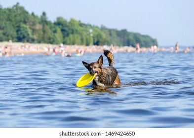 The Gulf of Finland. Young energetic half-breed dog is jumping over water. Doggy is playing with disc in water. Sunstroke, health of pets in the summer. How to protect your dog from overheating.