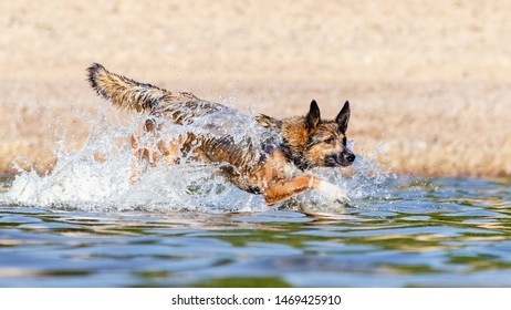 The Gulf of Finland. Young energetic half-breed dog is jumping over water. Doggy is playing in water. Sunstroke, health of pets in the summer. How to protect your dog from overheating.