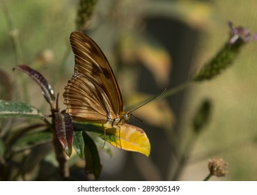 Gulf fritillary, Agraulis vanillae, butterfly is found in Paraguay, Argentina, the United States and even the Galapagos Islands