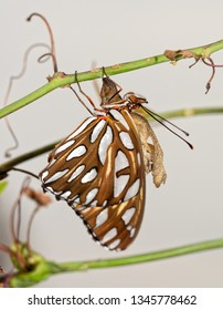 Gulf Fritillary butterfly after eclosion, hanging next to his chysalis on a Passionvine