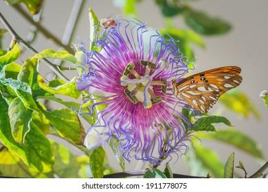 Gulf fritillary butterfly (Agraulis vanillae) perched on Crato Passion Flower (Passiflora cincinnata)