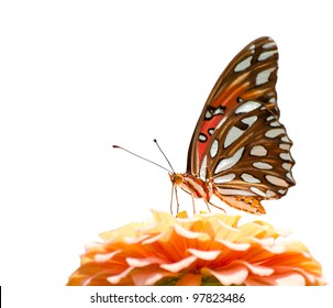 Gulf Fritillary butterfly feeding on a pale pink flower, on white background