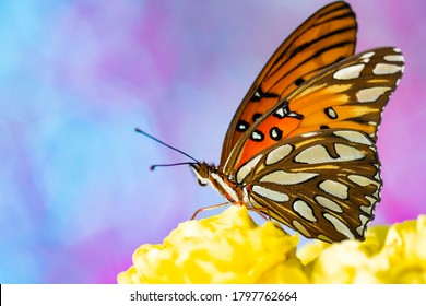 Gulf fritillary butterfly macro shots
